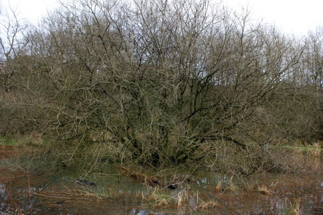 Boggy ground, healthy tree - Nether Lees.